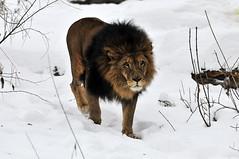 Löwe (Michael Döring) Tags: gelsenkirchen bismarck zoomerlebniswelt zoo wintermärchen löwe afs70200 d300 michaeldöring inexplore