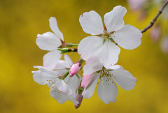 Blossoms (skipp35us) Tags: spring northcarolina sarahpdukegardens
