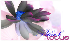 Black Lotus - BlackLotus-46-2-0700 (Bahman Farzad) Tags: flowers black flower macro yoga poster design peace lotus relaxing peaceful meditation therapy lotusflower lotuspetal blacklotus lotuspetals lotusflowerpetals lotusflowerpetal