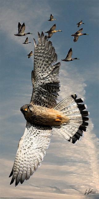 Peregrin falcon (Falco peregrinus) aka duck hawk by Dan Small Outdoors
