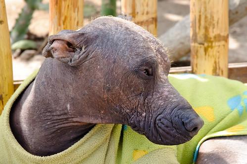 The attractive Peruvian dog