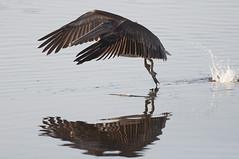 Immature Brown Pelican Fishing (Joe Tecza) Tags: birds fishing nikon florida pelican sanibel brownpelican dingdarling d90