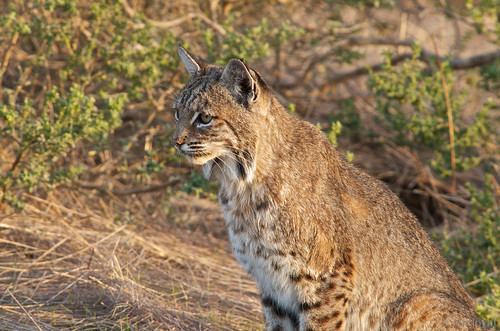 Pretty female bobcat