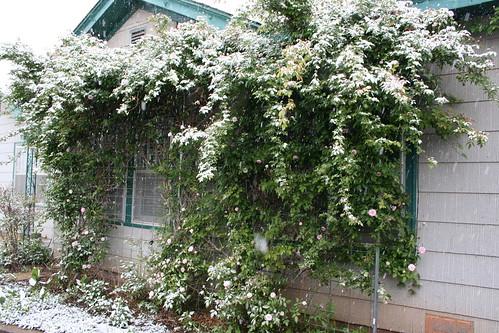 Antique Rose Bush