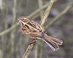 Female Reed Bunting (Andrew Haynes Wildlife Images) Tags: bird nature female wildlife coventry warwickshire reedbunting brandonmarsh canon7d ajh2008