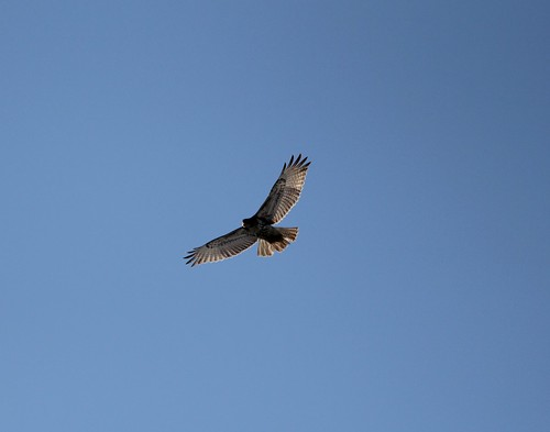 Hawk over the lake