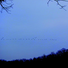 A double V formation? (livingglassart home of oddballs and oddities) Tags: geese tennesseeriver vformation