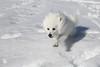 Kimo in the Snow (iteepee) Tags: snow ball dragon mammoth z americaneskimodog eskie