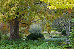 Under The Dawn Redwood, Birmingham Botanical Gardens, AL 2010 (Lone Cypress) Tags: autumn japanesegarden birmingham alabama botanicalgardens dawnredwood