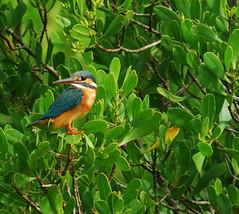 kingfisher3_crop_DSC_5876 (AbeDinMerbau) Tags: bird kingfisher langkawi common manualfocus d40 rajaudang nometering tc300 400mm35