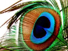 As soft as a feather.....!!!! (**** Floyd's Ghost. ****) Tags: blue green interesting feather brightcolors birdfeather peacockfeather