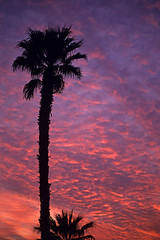 Altocumulus clouds silhouetted p[alm tree (Jim Corwin's PhotoStream) Tags: travel sunset vacation sky tourism nature weather vertical outdoors photography sightseeing scenic dramatic atmosphere nobody tourists palmtrees palmtree destination southerncalifornia climate naturalworld atmospheric indio naturalscience altocumulus altocumulusclouds atmosphericscience beautyinnature localattractions meterorology silhouettedpalmtrees