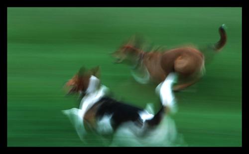 dogs-run
