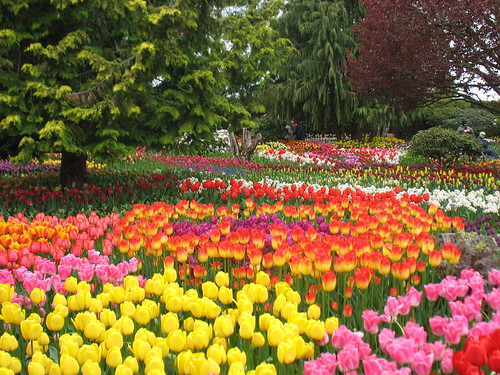 Multicolored tulip beds at Roozengaarde show gardens.