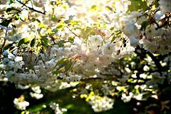 Cherry blossoms (balu51) Tags: white green backlight garden spring afternoon blossoms rosa april cherryblossoms 60mm weiss garten cherrytree blüten palepink 2014 kirschblüten copyrightbybalu51 japanischerzierkirschbaum