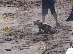 Shake It All Over (Balticson) Tags: dog beach sea water coast summer teignmouth devon drying