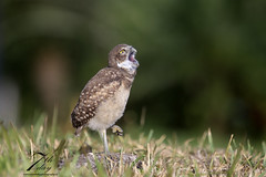I wanna rock! (Seventh day photography.ca) Tags: burrowingowl owl bird predator birdofprey animal wildanimal wildlife carnivore spring florida unitedstates raptor owlet