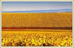 Vignes automnales  Pouilly (Ted Corvedo) Tags: france automne loire vignes nivre 18200mmf3556gvr pouillysurloire flickrunitedaward corvedo