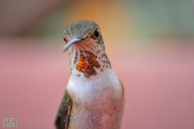 Allen's Hummingbird 112410