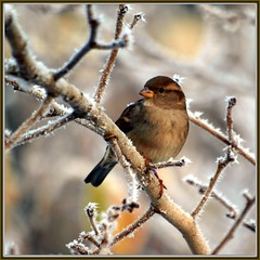 the sparrow (Michiel Thomas) Tags: winter bird frost hoarfrost sparrow mus oiseau raureif vogel givre moineau passer reif  sperling rijp  raufrost