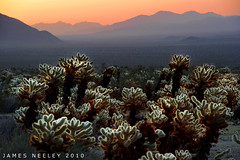 Cholla Morning (James Neeley) Tags: california cactus sunrise landscape cholla joshuatreenationalpark chollacactusgarden digitalblending jamesneeley