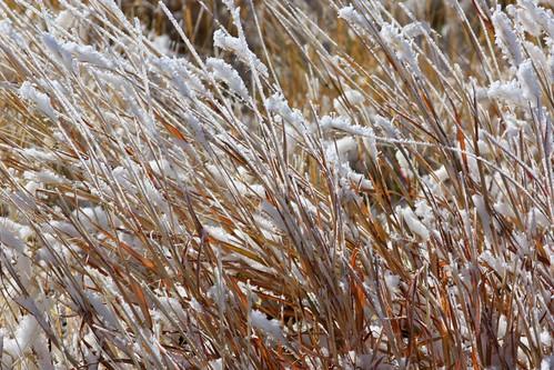 Frosty Grasses 3