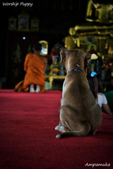 Worship Puppy /  (AmpamukA) Tags: dog pet animal puppy temple worship bangkok monk thai sit wat bkk beg traval    siriraj    rakhang     totallythailand regilous ampamuka