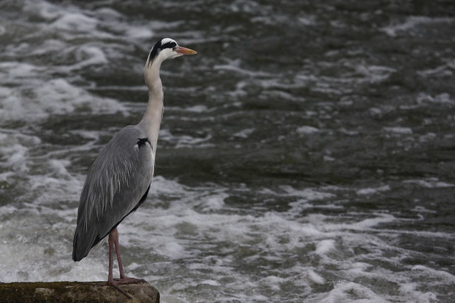 Grey Heron at the weir on the Thames in Reading