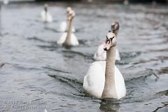 Swan Train (Russ Beinder) Tags: winter france bird river swan strasbourg fr 85mmf14