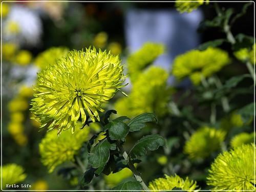 2010 菊宴 綠絲菊