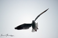 seagull || first try (  || saud alageel) Tags: sea bird birds canon seagull gull 500 saud 500d      55250    55250mm  alageel