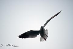 seagull || first try (سعود العقيل || saud alageel) Tags: sea bird birds canon seagull gull 500 saud 500d البحر بحر طيور نورس كانون 55250 طائر سعود النورس 55250mm العقيل alageel