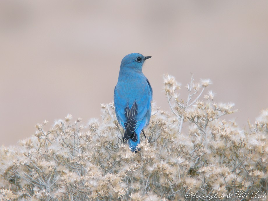 Mountain Bluebird 12101-2