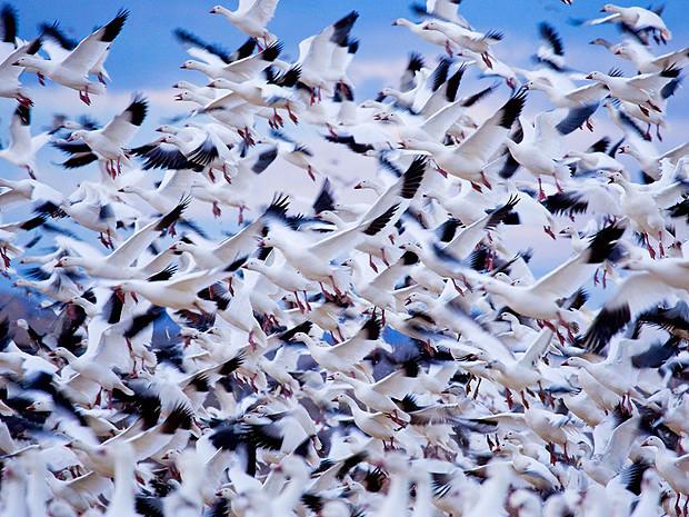 Снежные гуси, Нью-Мексико