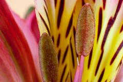 Alstro (slice48666) Tags: flower color macro texture up closeup pattern close alstro