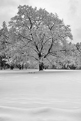 IMG_4410 - The Weight On His Shoulders (Syed HJ) Tags: blackandwhite bw snow storm nh gianttree nashuanh greeleypark 5dii canon5dmarkii canon5diinashua greeleyparknashuanh
