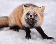 This is a Stick-up (Deby Dixon) Tags: winter snow tourism nature photography washington travels nikon paradise wildlife fox oops deby allrightsreserved 2010 redfox mtrainiernationalpark dontfeedthewildlife debydixon viciouslooking debydixonphotography