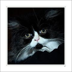 Help me! (Bleu Nature) Tags: cat persian chat gift nol 2010 cadeau chaton chritmas persan