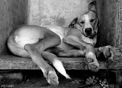 Bill (Jos Mauricio Garijo) Tags: dog chien co cane perro hund cachorro animais pretoebranco dormindo mamferos interiordesopaulo