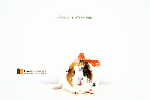 twoguineapigs pet photography season's greetings wiggley the guinea pig