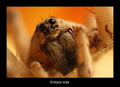 Wolf Spider...   (HASAN_ADEL) Tags: macro nature canon insect lens spider wolf tube micro saudi arabia 24 mm reversed hoya ksa extention kenko