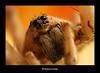 Wolf Spider... العنكبوت الذئبي (HASAN_ADEL) Tags: macro nature canon insect lens spider wolf tube micro saudi arabia 24 mm reversed hoya ksa extention kenko السعودية العنكبوت العربية المملكة عدسة ماكرو طبيعية كانون حية مقلوبة حشرات انبوب تمديد دقيقة ميكرو كائنات اكستنشن الذئبي هويا