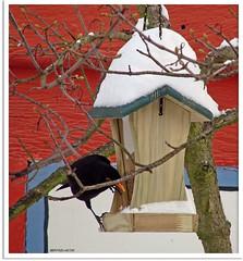 Amselmann Kurti und das Vogelhäuschen - Blackbird Kurti and the bird box (3)