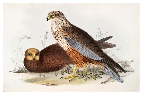 013-Aguilucho del pantano- The birds of Europe Tomo I-1837- John Gould