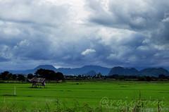 นาข้าว จากเชียงราย Rice field in Chiangrai