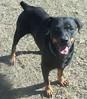 Jewel (muslovedogs) Tags: mastiff rottweiler jewel mastweiler