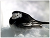 It's thawing at last! (macfudge1UK) Tags: uk winter england snow bird ice fauna garden frozen europe britain wildlife freeze gb snowfall oxfordshire thaw avian 2010 oxon piedwagtail wagtail blueribbonwinner motacillaalbayarrellii coth britishbirds supershot gardenbird ©allrightsreserved britishbird hs10 countryfile anawesomeshot avianexcellence theunforgettablepictures 100commentgroup newgoldenseal qualitygold fujifilmfinepixhs10 fujihs10 bbcwinterwatch