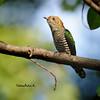 คัคคูมรกต Asian Emerald Cuckoo (somchai@2008) Tags: thewonderfulworldofbirds asianemeraldcuckoo chrysococcyxmaculatus คัคคูมรกต qualitygold