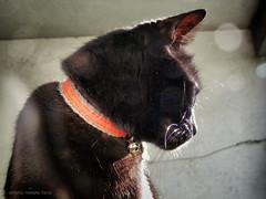 Nero vibrisse (RoLiXiA) Tags: sardegna silhouette cat chat sardinia felino gatto nero micio sardaigne profilo baffi vibrisse gattoeuropeo scintillio felixcatus panasonicdmcfz45