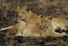 Kashenyi Lions (Makgobokgobo) Tags: africa mammal lion uganda predator queenelizabeth panthera pantheraleo mweya queenelizabethnationalpark qenp kashenyi